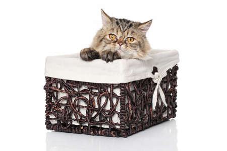 baby animal: Persian kitten in wicker basket on a white background Stock Photo