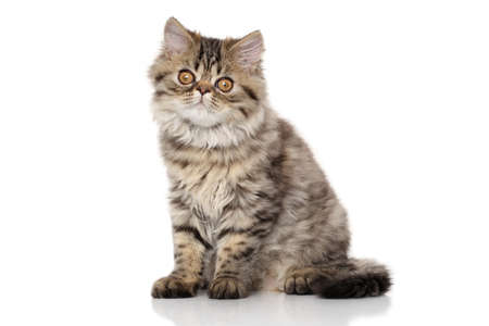 grey tabby: Striped Persian cat. Portrait in front of white background