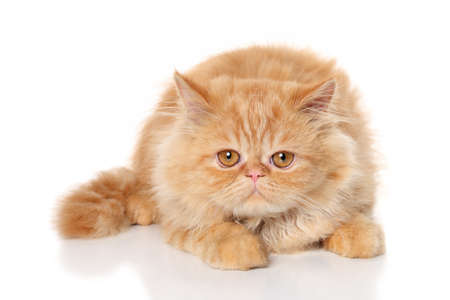Sad ginger Persian cat lying in front of white background