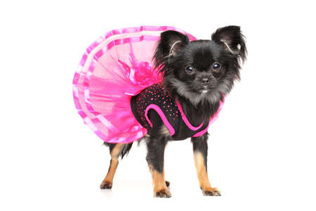 Long-Haired Chihuahua dog in fashionable dog dress on white background Stock Photo