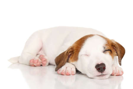 sweetly: Puppy Jack Russell sleeping sweetly on a white background
