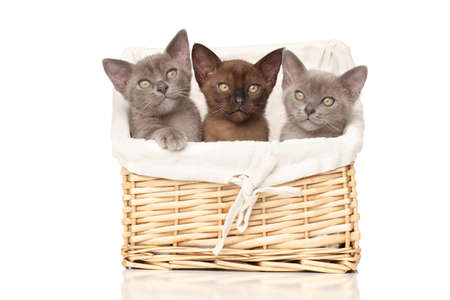 burmese: Three Burmese kittens in a basket on white background
