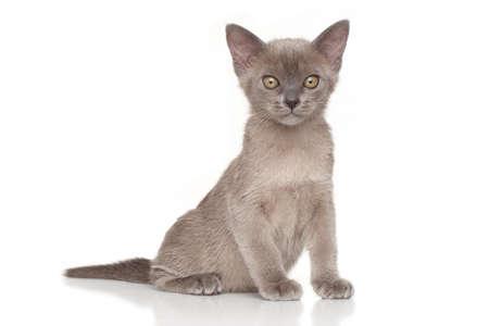 kitten: Burmese kitten in front of white background