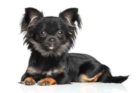 cane chihuahua: cucciolo chihuahua a pelo lungo sdraiato su sfondo bianco