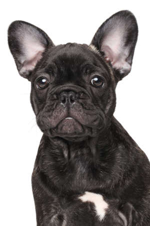 small dog: Close-up of French bulldog isolated on white background Stock Photo