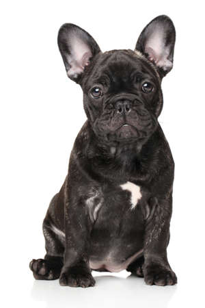 black dog: French bulldog in front of white background