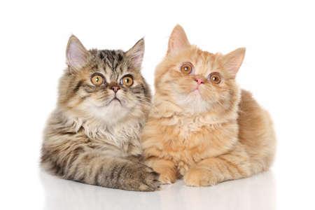 kitten: Persian kittens lying on a white background