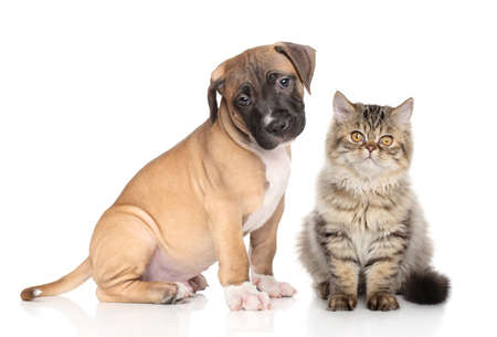 white dog: American Staffordshire Terrier puppy and Exotic kitten in front of white background. Cat and dog