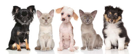 PUPPIES: Group of pets - puppies and kitten on white background