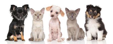 perrito: Grupo de animales domésticos - Perritos y gatito en el fondo blanco