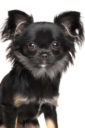 longhaired: Close-up of Long-Haired Chihuahua dog isolated on white background Stock Photo