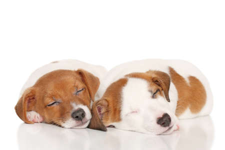 sweetly: Puppies Jack Russell Terrier sweetly sleeping on white background