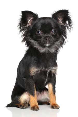 cane chihuahua: Chihuahua a pelo lungo cane si siede di fronte a sfondo bianco