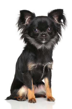 chihuahua pup: Long-Haired Chihuahua dog sits in front of white background