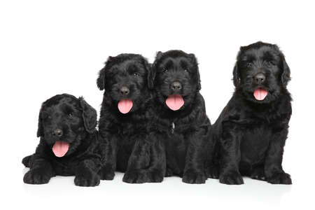 white russian: Four Happy Russian Black terrier puppies on white background Stock Photo