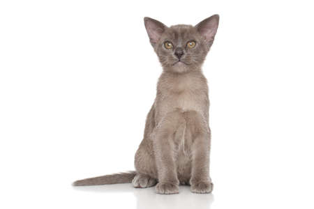 studioshot: Portrait of Burmese kitten in front of white background Stock Photo