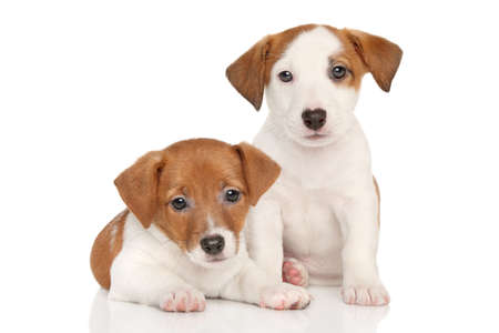 Jack Russell little puppies on white background