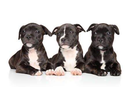 Group of Staffordshire bull terrier puppies lying down on a white background