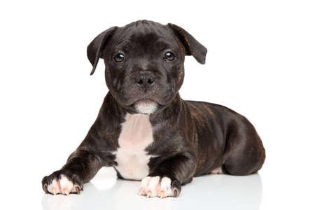 白い背景の前に幸せなスタッフォードシャー ・ ブル ・ テリア子犬