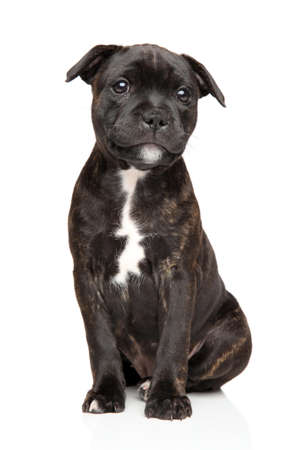 sits: Staffordshire bull terrier puppy sits in front of white background