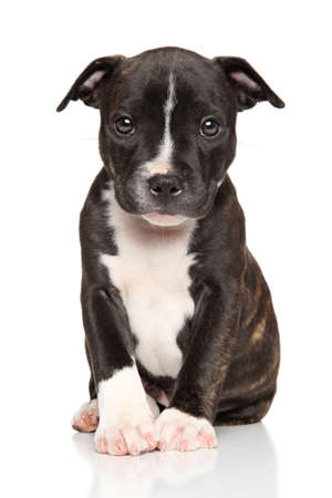 black and white pit bull: Staffordshire bull terrier puppy in front of white background