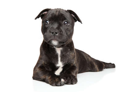 toro: Staffordshire bull terrier cachorro sobre un fondo blanco