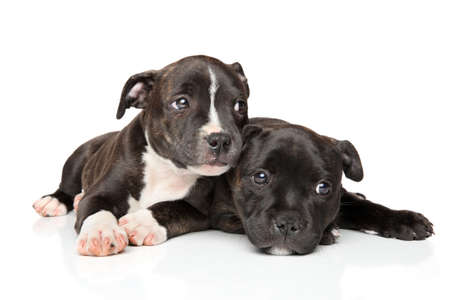 black and white pit bull: Staffordshire bull terrier puppies resting in front of white background