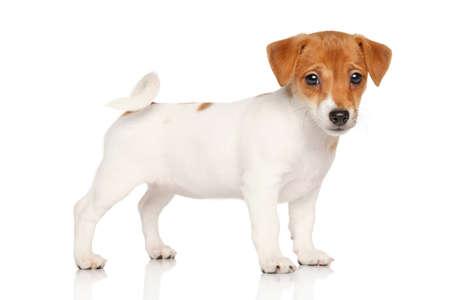 perros graciosos: Jack Russell terrier cachorro. Retrato de estudio sobre un fondo blanco