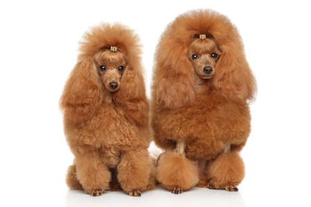 Two red toy poodle sits on white background