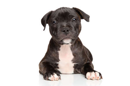 amstaff: Close-up of Staffordshire bull terrier puppy on white background