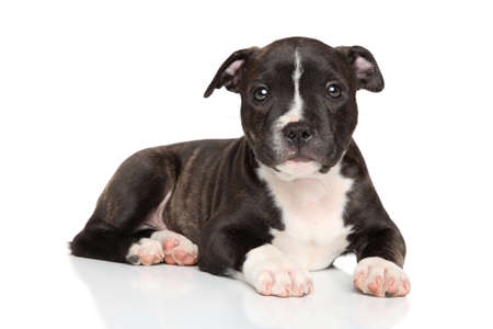 whelp: Staffordshire bull terrier puppy lying down on white background