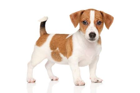spotted: Jack Russell puppy. Studio portrait on a white background