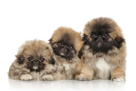 puppy: Cute three pekingese puppies in front of white background Stock Photo