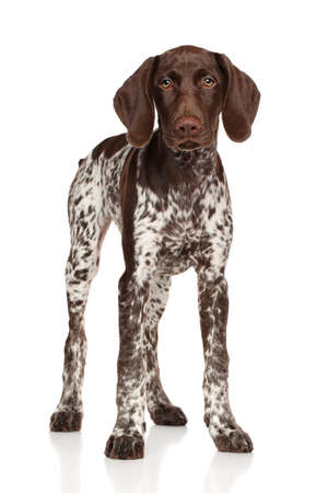 german: German Shorthaired Pointer standing on white background