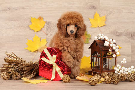 autumn dog: Dwarf poodle puppy with red heart on wooden background