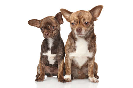 sits: Two Chihuahua puppies sits on white background