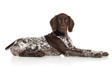 pointer dog: German shorthaired pointer laying down on white background