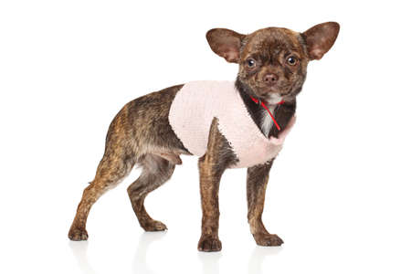 chihuahua puppy: Chihuahua puppy in fashionable clothes on white background