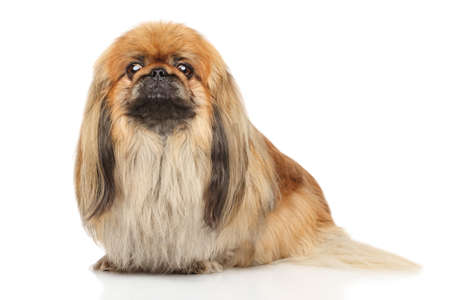 Pekingese in front of white background Reklamní fotografie
