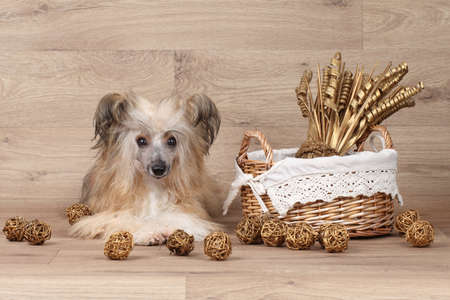 lapdog: Shaggy Chinese Crested dog lying near wicker basket on wooden background