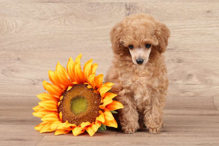 Toy poodle puppy with sunflower on wooden background