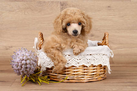 dog grooming: Apricot Poodle puppy in basket on a wooden background Stock Photo