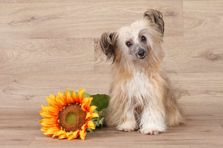 shaggy: Chinese shaggy Crested dog with sunflower on wooden background