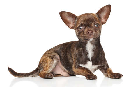 breed: Portrait of Chihuahua puppy on a white background