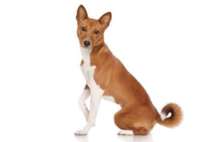 sits: Basenji dog sits in front of white background