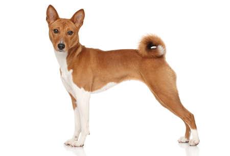 Basenji dog posing on white background