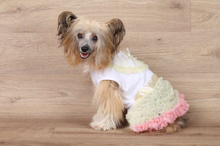 Happy Shaggy Chinese Crested dog in fashionable clothes on wooden background