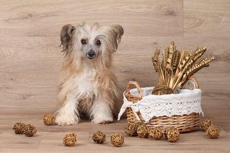 flores secas: Perro lanudo con cresta chino se sienta cerca de canasta con flores secas sobre fondo de madera