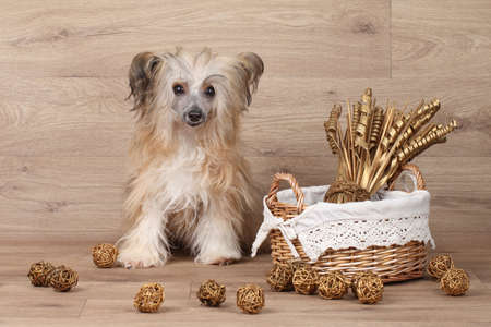 shaggy: Shaggy Chinese Crested dog sits near basket with dried flowers on wooden background