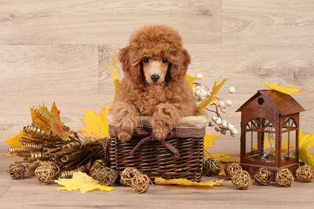 juguetes de madera: Perrito del caniche enano en la cesta sobre fondo de madera